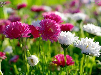 راهنمای مراقبت و پرورش گل داوودی
