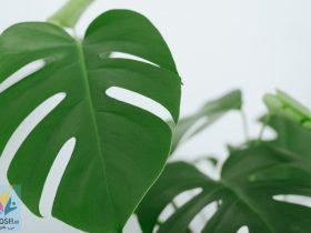 روش تکثیر گیاه برگ انجیری
