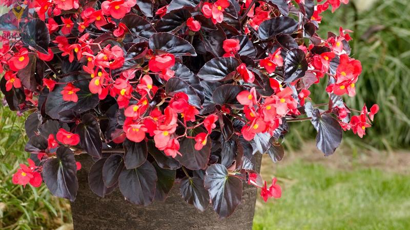 بگونیا (Begonia)