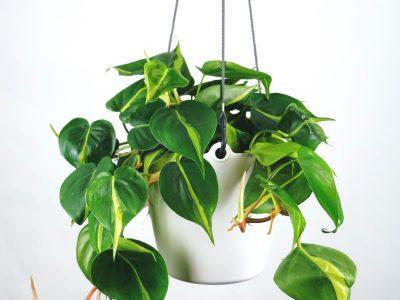 معرفی گیاهان همیشه سبز خانگی (بخش دوم)